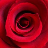 Sh-icon-rose